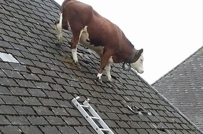 cow on roof